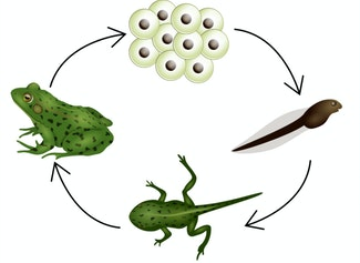 I can name and describe the stages of a frog's life cycle.