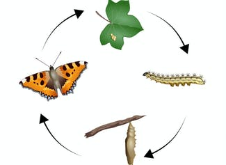 I can name and describe the stages of a butterfly's life cycle.