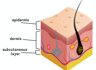 I can explain the functions of the skin and describe the layers of the skin.