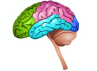I can identify the parts of my brain and describe their functions.