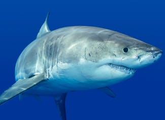 I can describe sharks and evaluate their importance to our oceans.